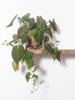 Ilustrasi tanaman hias Philodendron yang merambat.