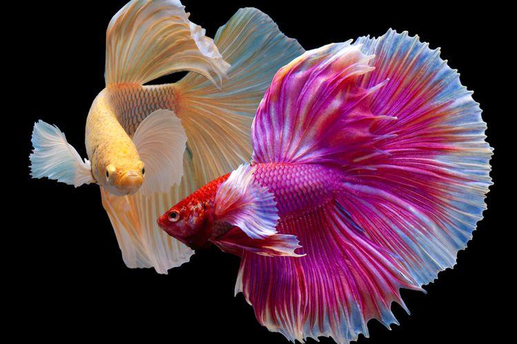 Ikan Cupang Halfmoon Hasil Kawin Silang Dan Sempat Diremehkan Halaman All Kompas Com