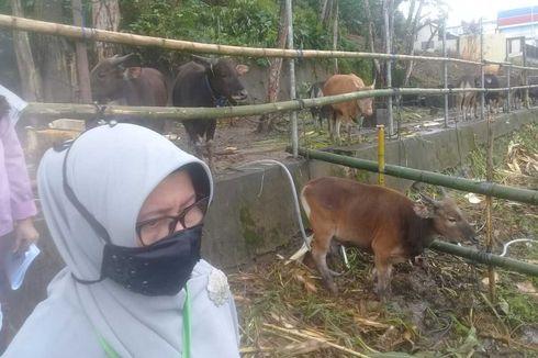 Jokowi Beli Sapi Kurban Jenis Limosin dari Peternak di Pulau Buru, Beratnya 950 Kg