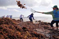 Jutaan Rumput Laut Menginvasi Samudra Atlantik, Ini Dampaknya