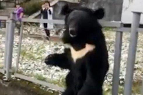 Beruang Ini Meratap Saat Diikat di Samping Iklan Sirkus