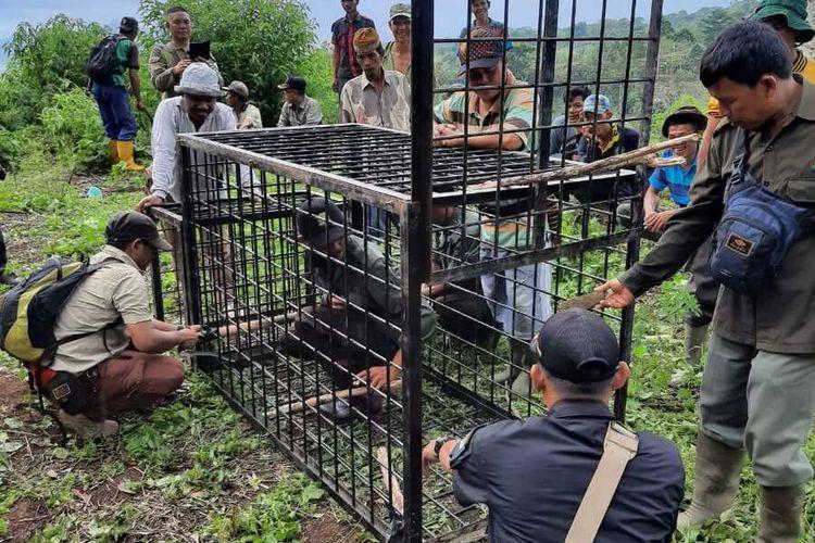 Pemasangan jebakan yang dilakukan tim BKSDA di lokasi titik munculnya harimau yang saat ini telah keluar dari hutan lindung. Konflik harimau dan manusia tersebut, saat ini telah menelan sebanyak lima orang korban jiwa.