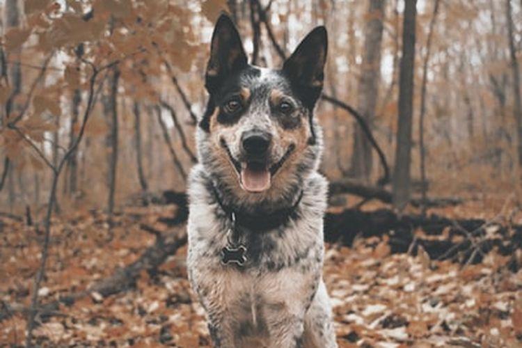 Ilustrasi ras anjing Australian Cattle Dog