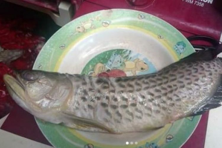 Viral Ayah Goreng Ikan Arwana Seharga Rp 2 Juta Kenapa Harga Ikan Arwana Mahal Halaman All Kompas Com