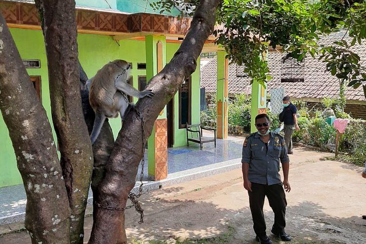 Petugas BKSDA Serang saat mengevakuasi monyet ekor panjang yang menyerang empat warga Pandeglang