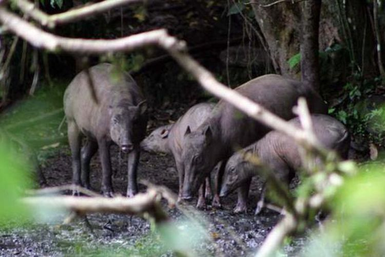 Sekumpulan babi rusa sedang menikmati lumpur mineral di kolam Adudu. Satwa endemik Sulawesi ini menjadi daya tarik Suaka Margasatwa Nantu di Provinsi Gorontalo.