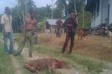 Hama Babi Hutan Resahkan Warga dan Petani di Aceh