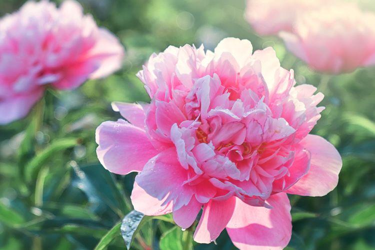 Ilustrasi bunga peony.