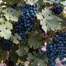 Berapa Lama Tanaman Anggur Berbuah? Ini Faktor yang Mempengaruhinya