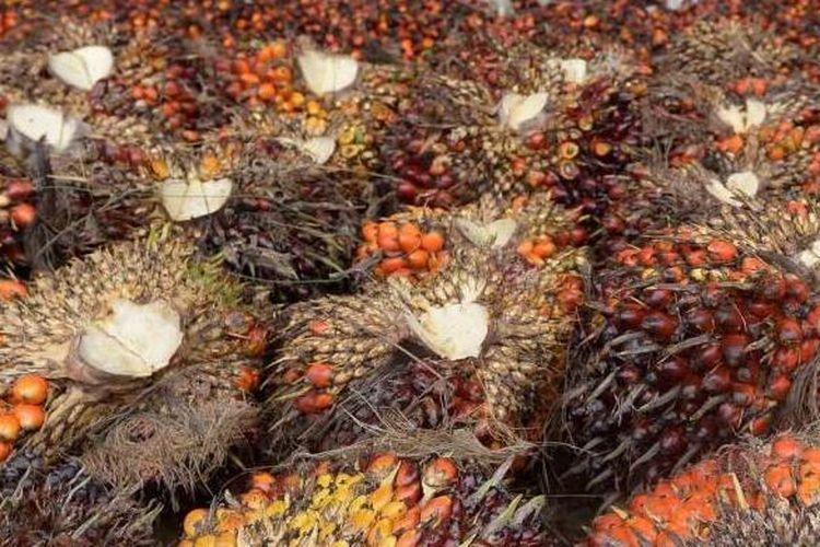 Ilustrasi: Kelapa sawit