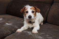 Penyebab Bulu Anjing Rontok dan Cara Menanganinya