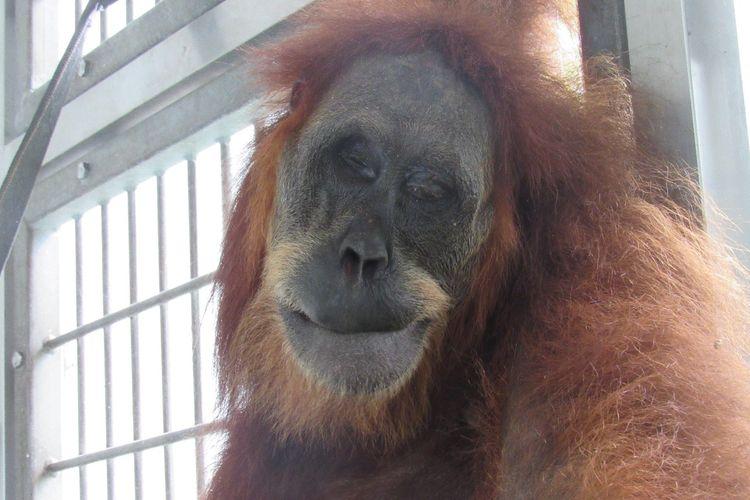 Foto dokumentasi YEL - SOCP, 74 peluru senapan angin bersarang ditubuh induk orangutan yang dievakuasi di Subulussalam, Aceh,  Rabu (13/03/2019).
