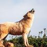 Kerap Dikaitkan Mistis, Ini Alasan Anjing Meraung pada Malam Hari