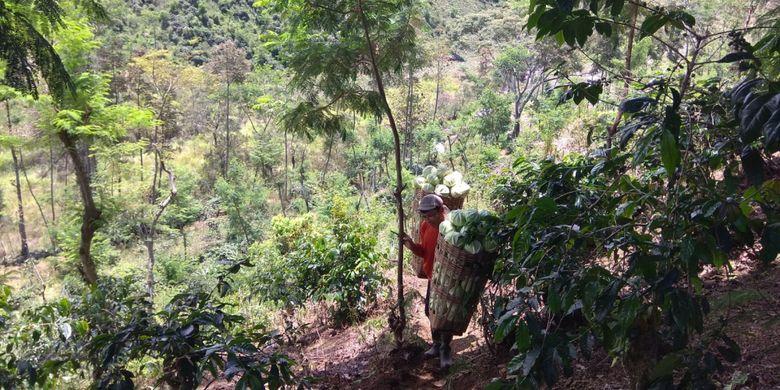 Seorang petani memanen kubis lebih awal karena rusak terkena gas beracun. Lahan mereka berada dekat dengan bantaran sungai Kalipait.