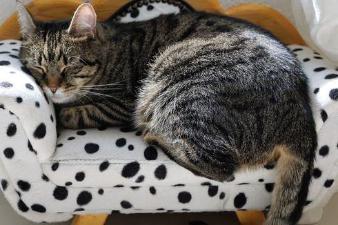 Kenapa Kucing Tidur Terus? Simak, Ini Penyebabnya