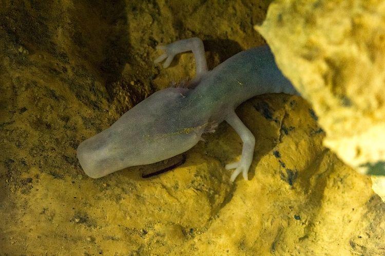 Olm (Proteus anguinus) adalah amfibi sejenis salamander yang hidup di gua dan menjadi hewan paling malas di dunia. Ada yang tak bergerak 7 tahun.