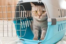 Kenapa Kucing Takut dengan Mentimun?