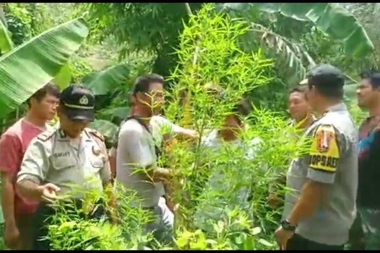Polisi menemukan tanaman ganja di Lombok Utara, Jumat (11/1/2019).