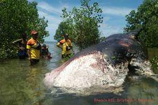 Paus yang Terdampar di Pulau Rote Jenis Paus Sperma