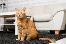 Kenapa Bulu Kucing Rontok hingga Sebabkan Kebotakan? Ini Penyebabnya
