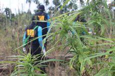 Petugas Musnahkan 10.000 Batang Ganja di Ladang Seluas 5 Hektar di Pedalaman Aceh Utara