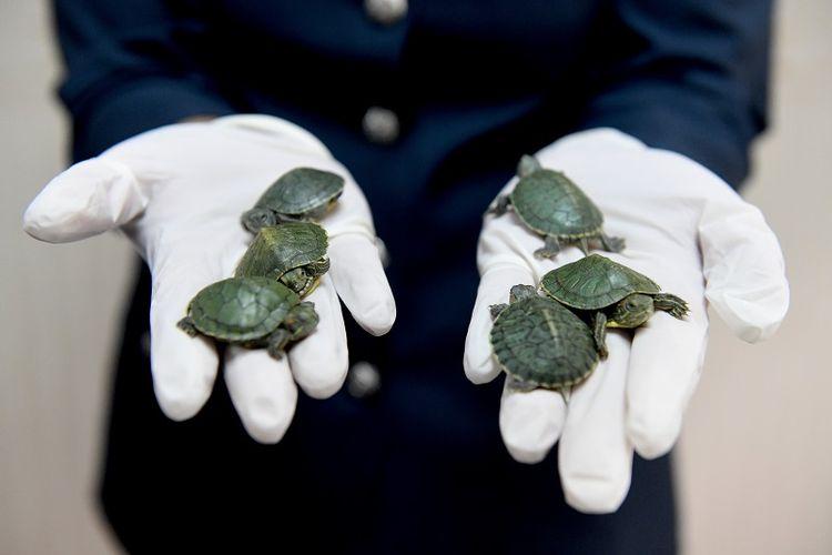 Petugas bea cukai bandara internasional Kuala Lumpur memperlihatkan beberapa ekor kura-kura dari sekitar 5.000 ekor yang coba diselundupkan.