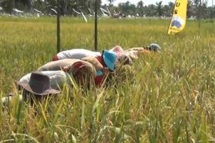 Ilustrasi: Petani tengah memeriksa tanaman padi mereka yang siap dipanen.