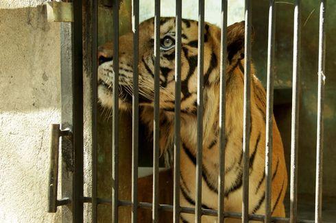 Mengenal Baksi, Harimau