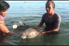Dugong yang Terdampar Sepekan di Polewali Mandar Akan Dilepasliarkan ke Habitat Aslinya
