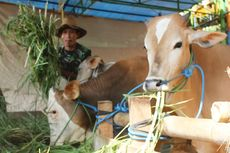 20 Hari Tak Ada yang Mati Mendadak, Daging Ternak dari Gunungkidul Aman Dijual