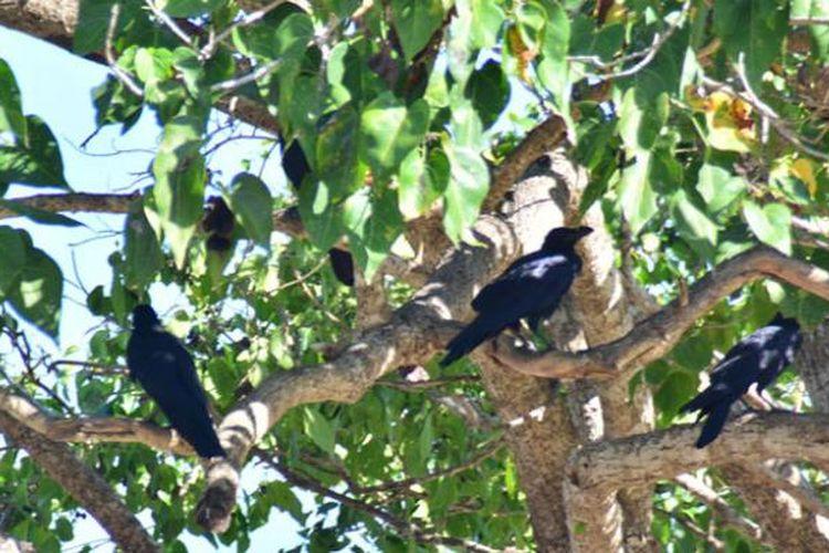 Gagak flores, burung endemik Flores di Pulau Komodo, Manggarai Barat, NTT.