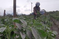 Dampak Abu Vulkanik Gunung Sinabung, Petani Terancam Gagal Panen