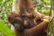 Kenalkan Sinar, Bayi Orangutan Penghuni Baru Taman Nasional Gunung Palung