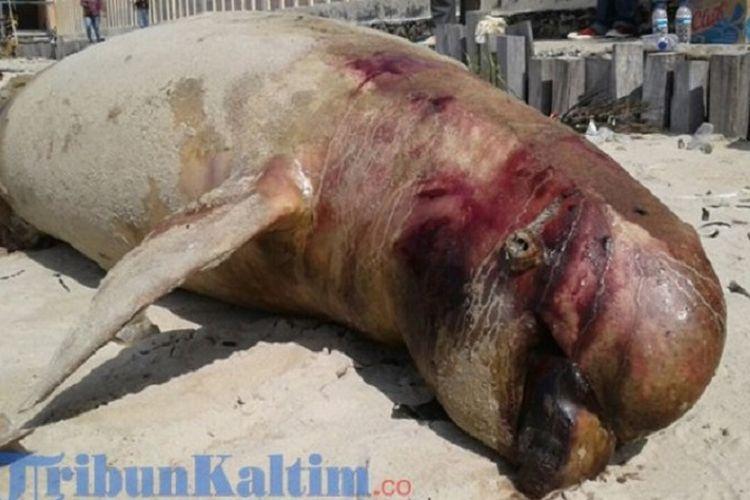 Seekor pesut diduga tewas akibat tumpahan minyak di Balikpapan