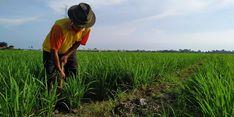 Realisasi KUR Pertanian Capai Rp 18 Triliun di 6 Sektor