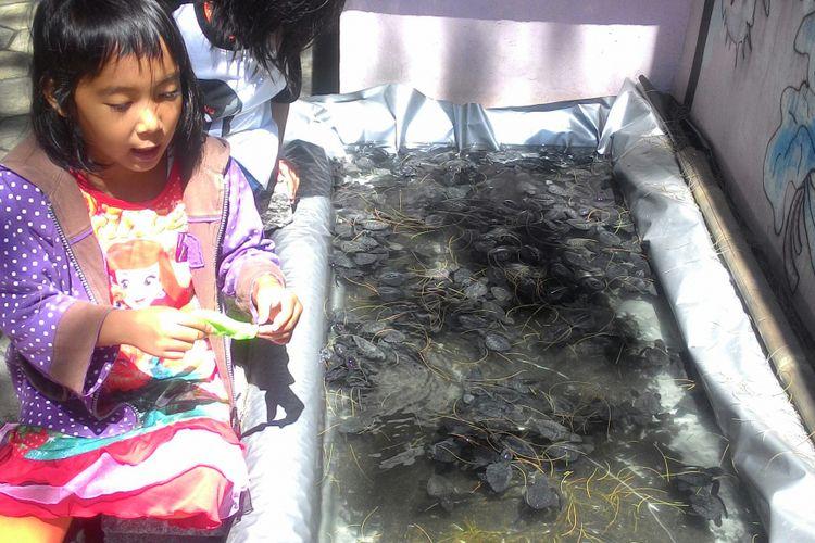 Tukik yang masih belum genap berusia tiga bulan siap untuk dilepasliarkan ke Pantai Trisik di selatan Yogyakarta.