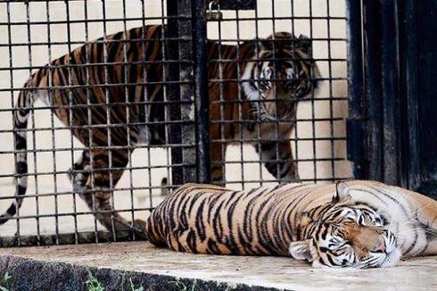 Harimau Sumatera di Taman Nasional Kerinci Seblat Tinggal 50 Ekor