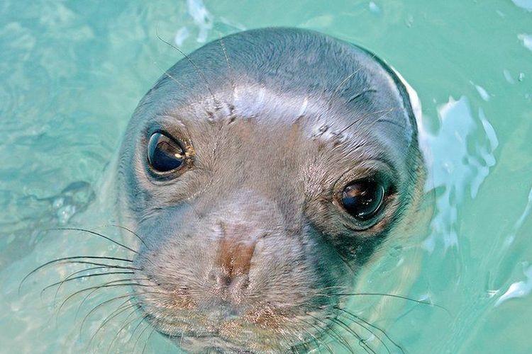 Kostis, anjing laut biksu Mediterania yang menjadi simbol Yunani dilaporkan mati karena ditombak nelayan.