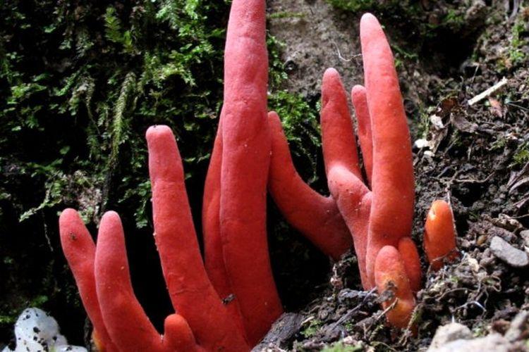 Podostroma cornu-damae, salah satu jenis jamur paling mematikan di dunia.