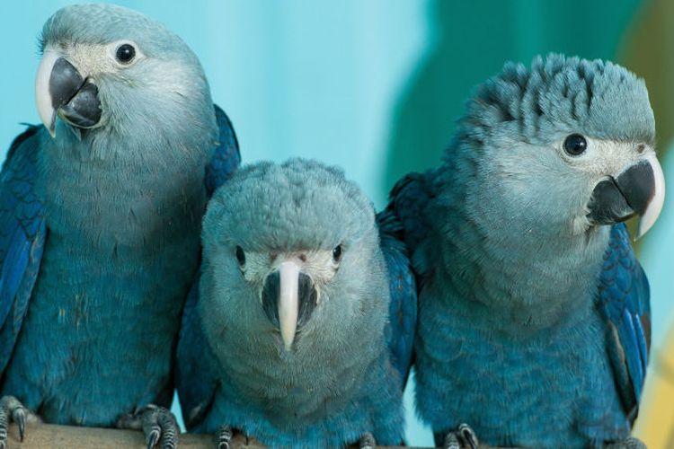 Makaw Spix, burung biru cantik yang ada di film animasi Rio diyakini sudah punah di alam liar.