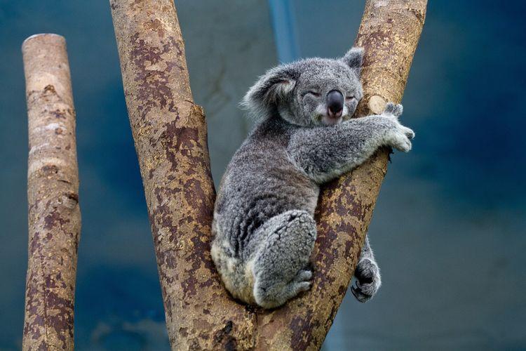 Ilustrasi Koala.