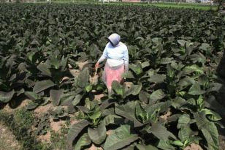 Beginilah kondisi daun tembakau milik petani di Kabupaten Jember, Jawa Timur, berubah menjadi hitam akibat guyuran debu vulkanik Gunung Raung.