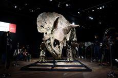 Sisa Fosil Triceratops Terbesar Si Big John Dibeli Kolektor