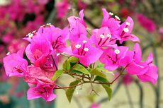 Simak, Panduan Memberi Pupuk untuk Tanaman Bunga Bugenvil