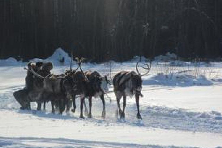 Sekelompok rusa kutub digunakan untuk menarik kereta salju di salah satu sudut Rusia.