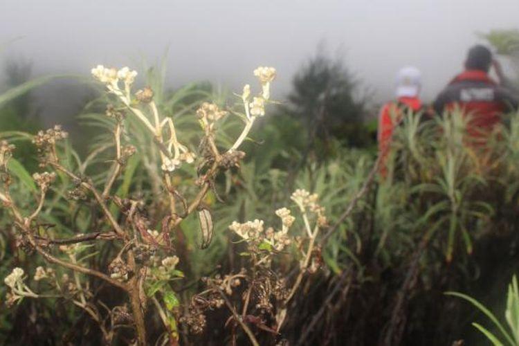 Bunga edelweis yang tumbuh di Cemoro Lawang, Desa Ngadisari, Kabupaten Probolinggo, Selasa (31/1/2017)
