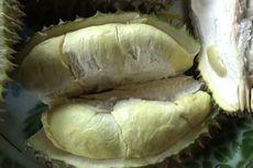 Penggemar Durian, Ada 20 Bukit Durian di Kebun Raya Bulo