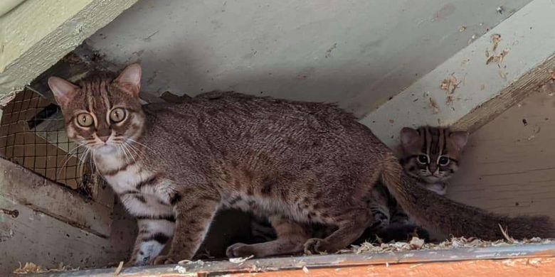 Bayi P. rubiginosus, spesies kucing terkecil di dunia yang lahir di suaka margasatwa Inggris selalu berada di bawah pengawasan induknya. Pengelola margasatwa belum mengetahui jenis kelamin dua bayi kucing itu.