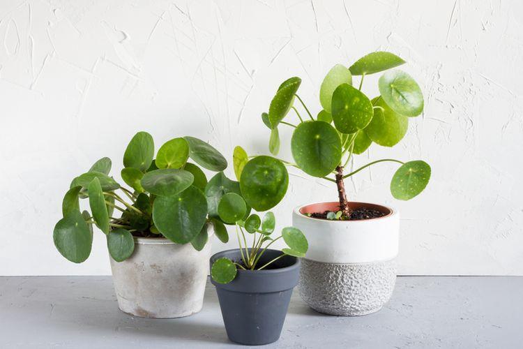 Ilustrasi tanaman Pilea atau Chinese money plant.