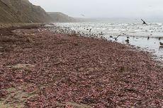 Hebohkan Warga, Ribuan Ikan Penis Terdampar di Pantai California